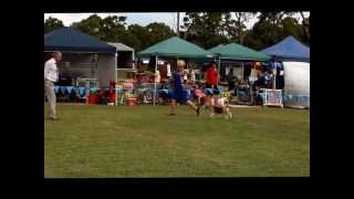 Best In Show - Beagle Club Of Nsw 95th Championship Show