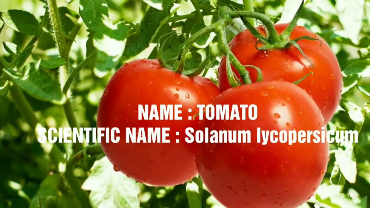 Scientific Names Of Vegetables | Scientific Names of 10 ...