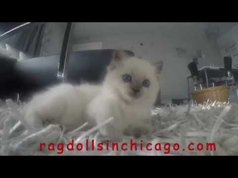 kittens ragdoll go pro hero black 4k cute kittens
