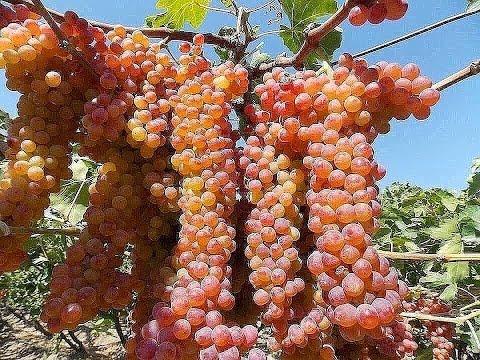 Виноградные сады в  Таджикистане