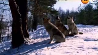 Живая тема Волк. Тайна оборотня - 19.06.2012.mp4