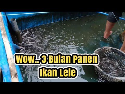 Amazing Panen Ikan Lele Umur 3 Bulan Youtube
