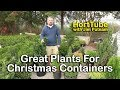 Plants That Are Perfect For Christmas Container Planting