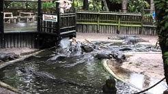 Alligator feeding time at the St. Augustine Alligator Farm Zoological Park