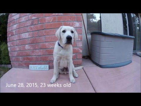 Blaze the Yellow Lab Growing Up