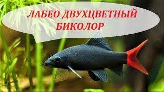 Лабео двухцветный биколор в аквариуме. Совместимость, содержание, размножение. Альбинос.