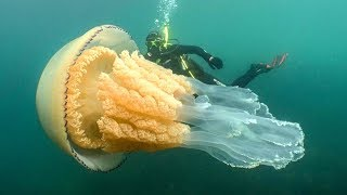 Scary Human Sized Jellyfish Spotted on Camera for The First Time