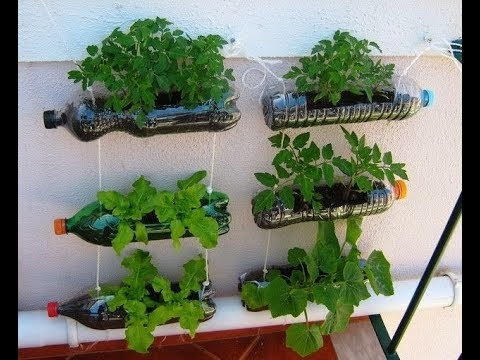 How to grow culantro plant in plastic bottles