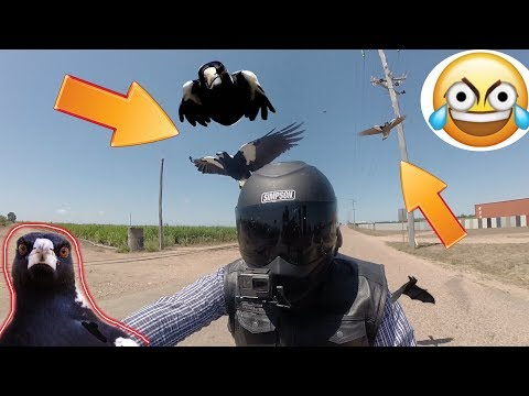 CRAZY MAGPIES SWOOPING ON A HARLEY RIDER. Australia's Most Feared Bird Caught On Camera