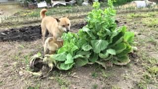 大好物の白菜を食べる山陰柴犬親子。