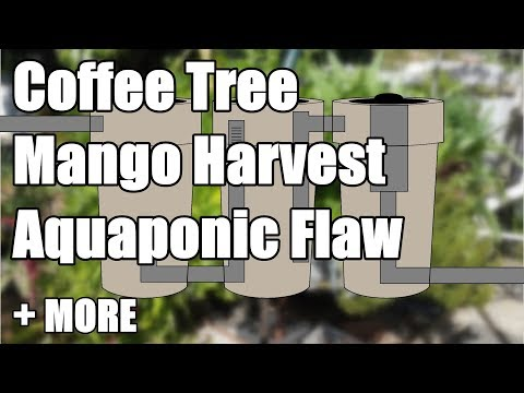Aquaponic Flaw – Mango Harvest – Solarising Pests – Chook Pen + MORE