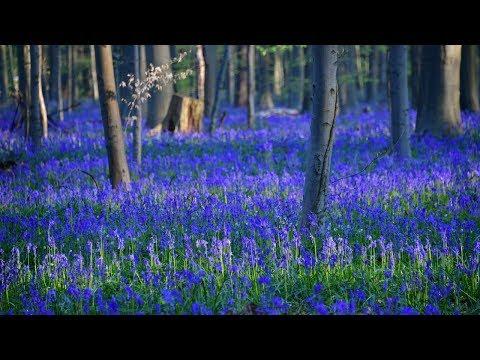 Ковёр из колокольчиков украсил «Синий лес» в Бельгии