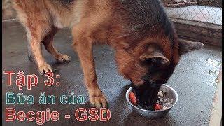 T3: Bữa Ăn của Chó Becgie - GSD/ Trò chuyện với Chuyên Gia/NhamTuatTV- Dog in Vietnam