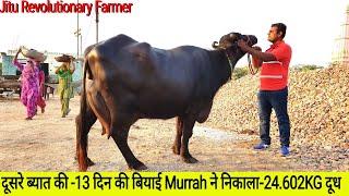 👍Second Lactation MURRAH - Recorded #24.602Kg Milk - in #24Hours || @Monvir Kundu Dairy Farm👍