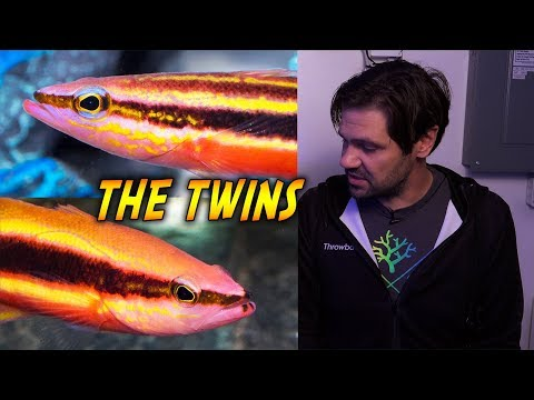 Gemini Twins: The Rainbow And Wrasse Bass