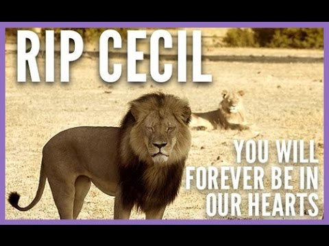 A Vegan's Perspective On Cecil The Lion's Death
