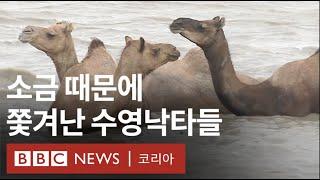 위기 속의 희귀종, '카라이 낙타' - BBC News…