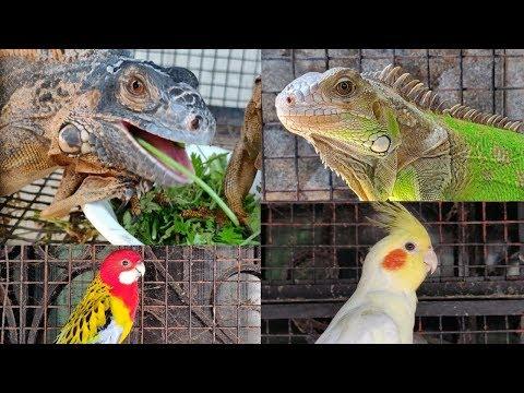 Iguana, Guinea Pig, Cuckatoo, Rosella At Dolphin Aquarium