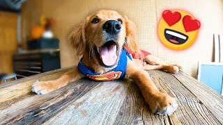 Homeless dog has best reaction when he puts on cape (Jalapeño featured in The Dodo rescue dog show)