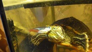 Водная черепаха ест рыбу / Aquatic turtle eat fish