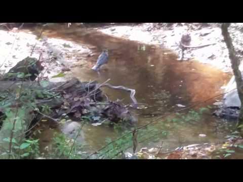 Hawk bathing in Foster Branch