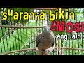 Perkutut Lokal Suara Memancing Emosi  Mp3 - Mp4 Download