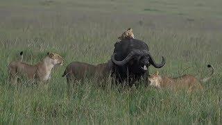 SafariLive Jan 26 -Sausage Tree lion pride pulled down a huge buffalo! bull
