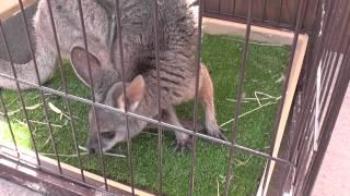 【移動動物園】 かわいいワラビー