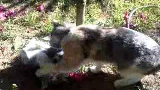 Котята 1 мес. и 8 дней
