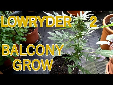 Lowryder 2 Automatic Balcony Grow | 70 Days from Seed to Harvest
