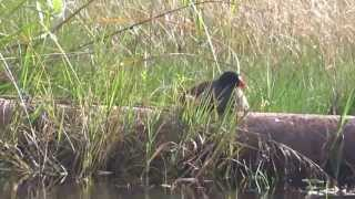 Florida Trail:  Panhandle Trace Hike 2013, Common Moorhen