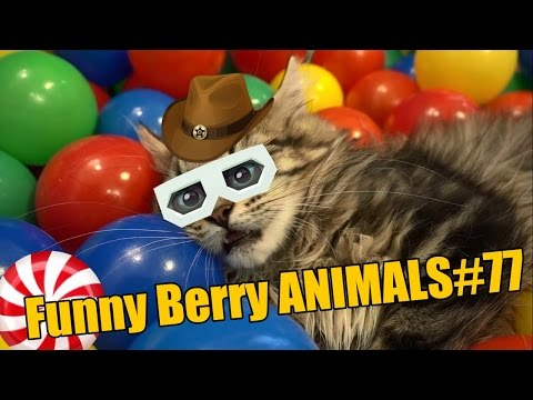 Funniest cats weekly | Sphynx cat | Chihuahua Video AUGUST 2016 | Funny Berry Animals #77