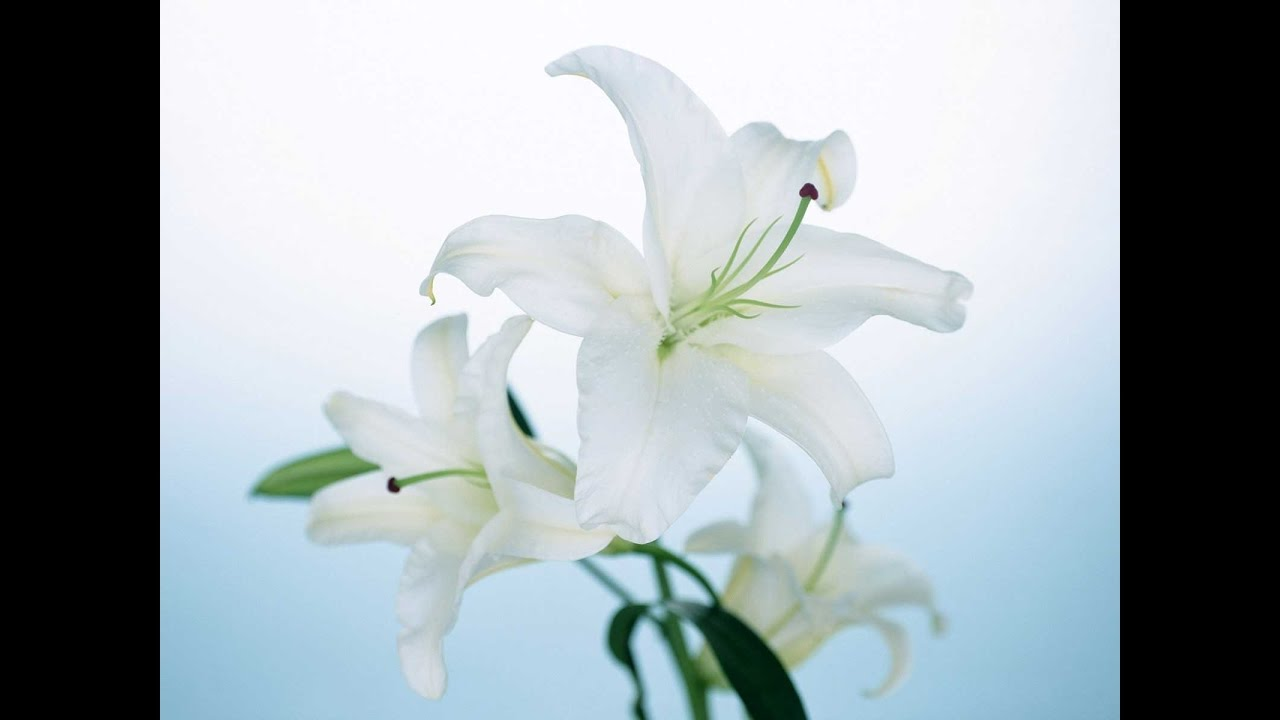 Lily flowers youtube lily flowers izmirmasajfo