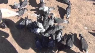 Кормление голубей. Голодные птицы бегут по головам друг друга за порцией зерна(Все подробности можно узнать из книг в библиотеке или в интернете. В библиотеке и в интернете есть много..., 2015-08-06T08:55:18.000Z)