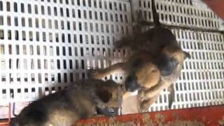 Belgian Malinois - 1 Month Old 14 Puppies