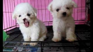Teacup Poodle In White ( Pingpong&golf)