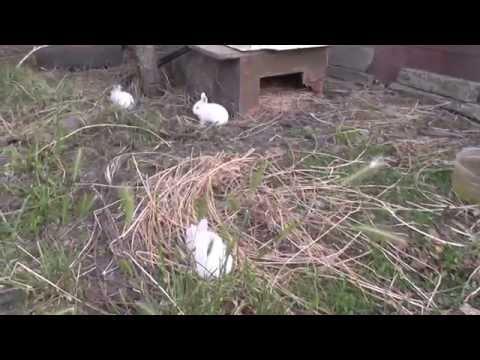 Содержание  кроликов  открытым  способом и в клетке - Видео онлайн