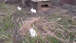 Содержание  кроликов  открытым  способом и в клетке