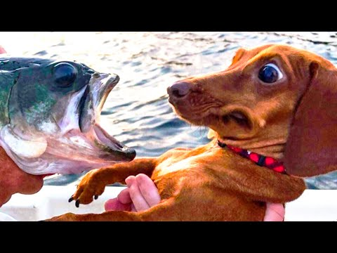 ? Funniest ? Dogs and ? Cats - Awesome Funny Pet Animals Videos ?