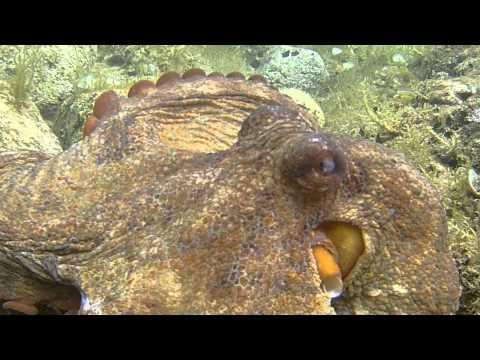 Octopus vulgaris hobotnica