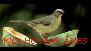 Piolho em pássaros ( Fim dos piolhos )