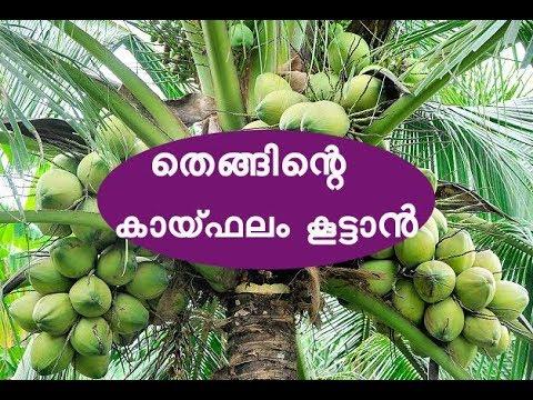 തെങ്ങിന്റെ കായ്ഫലം കൂട്ടാൻ Coconut Cultivation Tips