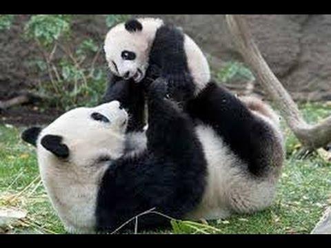Panda UFC MMA Fight - YouTube