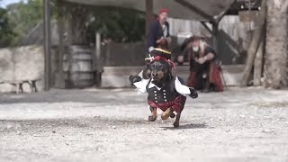 Crusoe Dreams of Pirates - Cute Dog Video Pirate Costume!