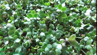 Sulforafan: od brokolice k prsu