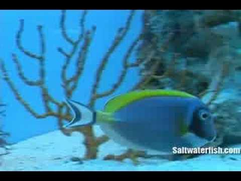 Powder Blue Tang : www.Saltwaterfish.com - YouTube