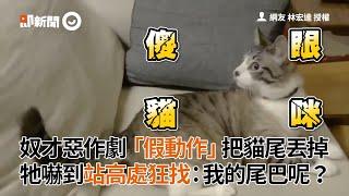 貓奴對虎斑貓惡作劇 假動作丟掉貓尾巴 貓皇嚇到狂找:我的尾巴呢?| 寵物