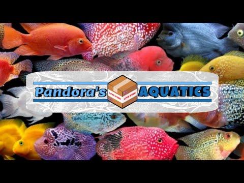 Super Red Texas X Golden Base Flowerhorn BREEDING Project #12