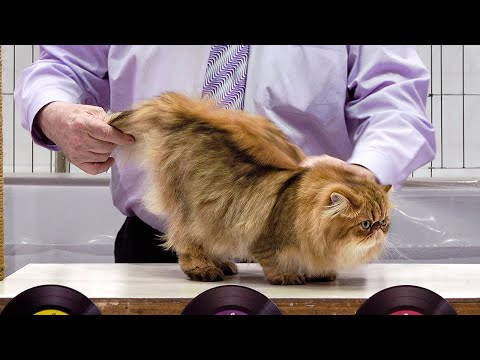CFA International Show 2019 - Longhair Adult Class Judging - Exotics