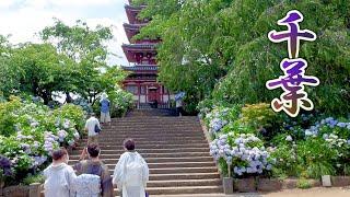 The peak season of hydrangea flowers in Chiba. The summer is just around the corner. #本土寺 #服部農園 #4K